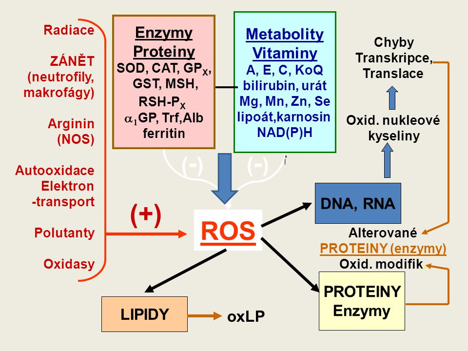 (+) ROS (-) (-) Enzymy Metabolity Proteiny Vitaminy DNA, RNA