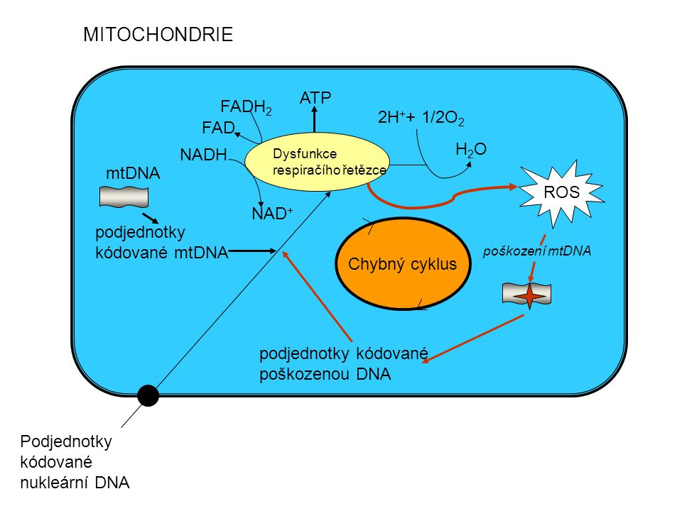 MITOCHONDRIE ATP FADH2 2H++ 1/2O2 FAD H2O NADH mtDNA ROS NAD+