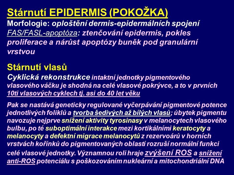 Stárnutí EPIDERMIS (POKOŽKA) Morfologie: oploštění dermis-epidermálních spojení FAS/FASL-apoptóza: ztenčování epidermis, pokles proliferace a nárůst apoptózy buněk pod granulární vrstvou