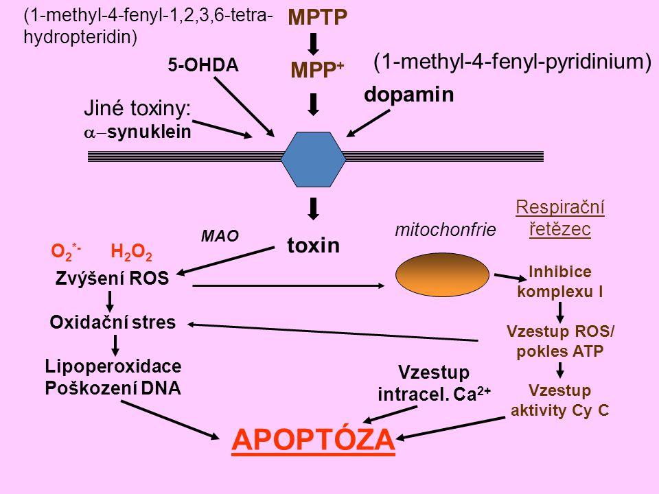 Vzestup ROS/ pokles ATP