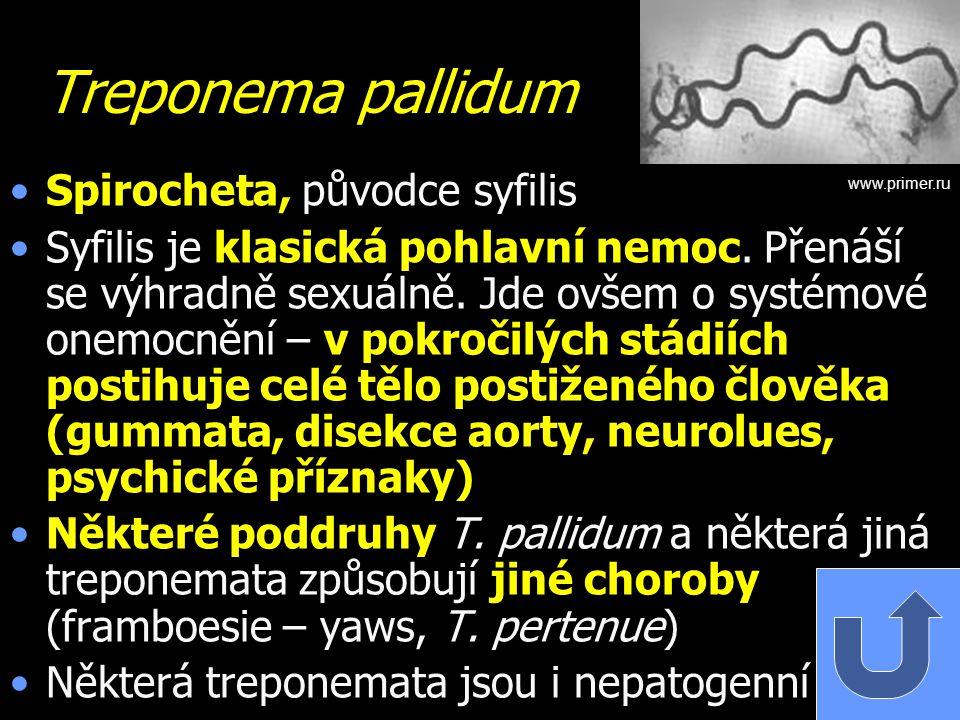Treponema pallidum Spirocheta, původce syfilis