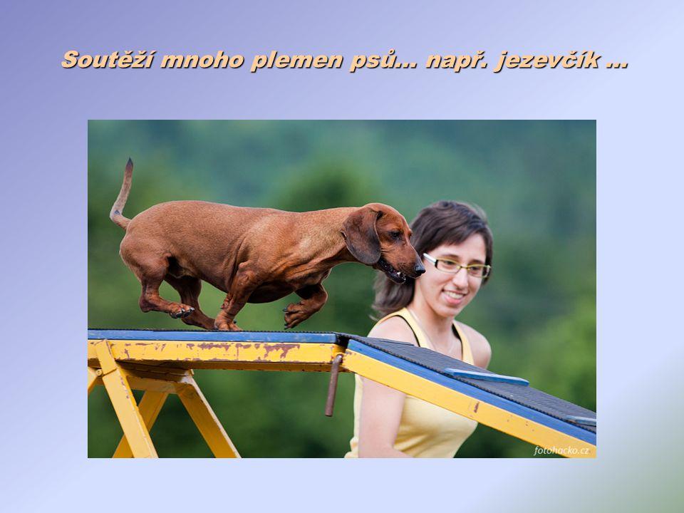 Soutěží mnoho plemen psů… např. jezevčík …