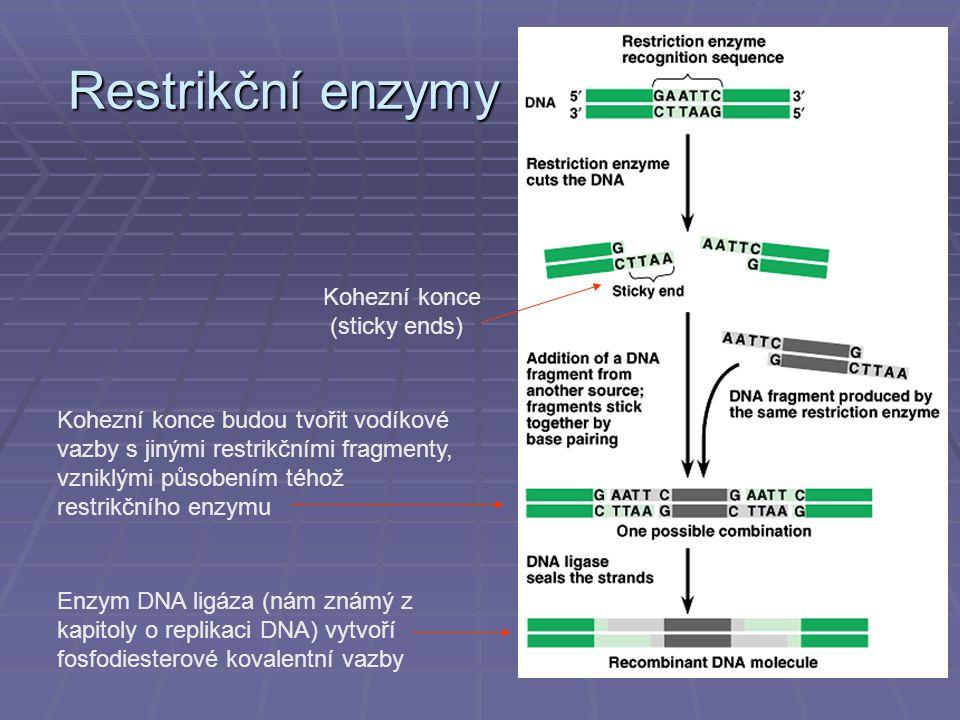 Restrikční enzymy Kohezní konce (sticky ends)