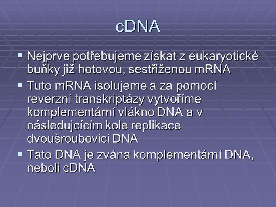 cDNA Nejprve potřebujeme získat z eukaryotické buňky již hotovou, sestřiženou mRNA.