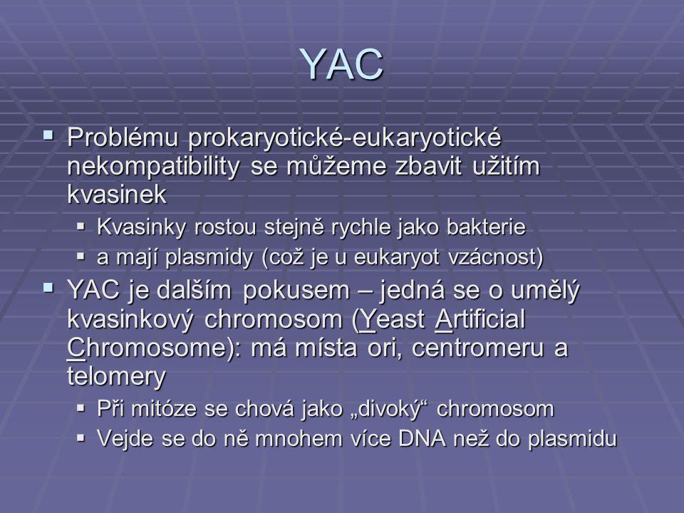YAC Problému prokaryotické-eukaryotické nekompatibility se můžeme zbavit užitím kvasinek. Kvasinky rostou stejně rychle jako bakterie.