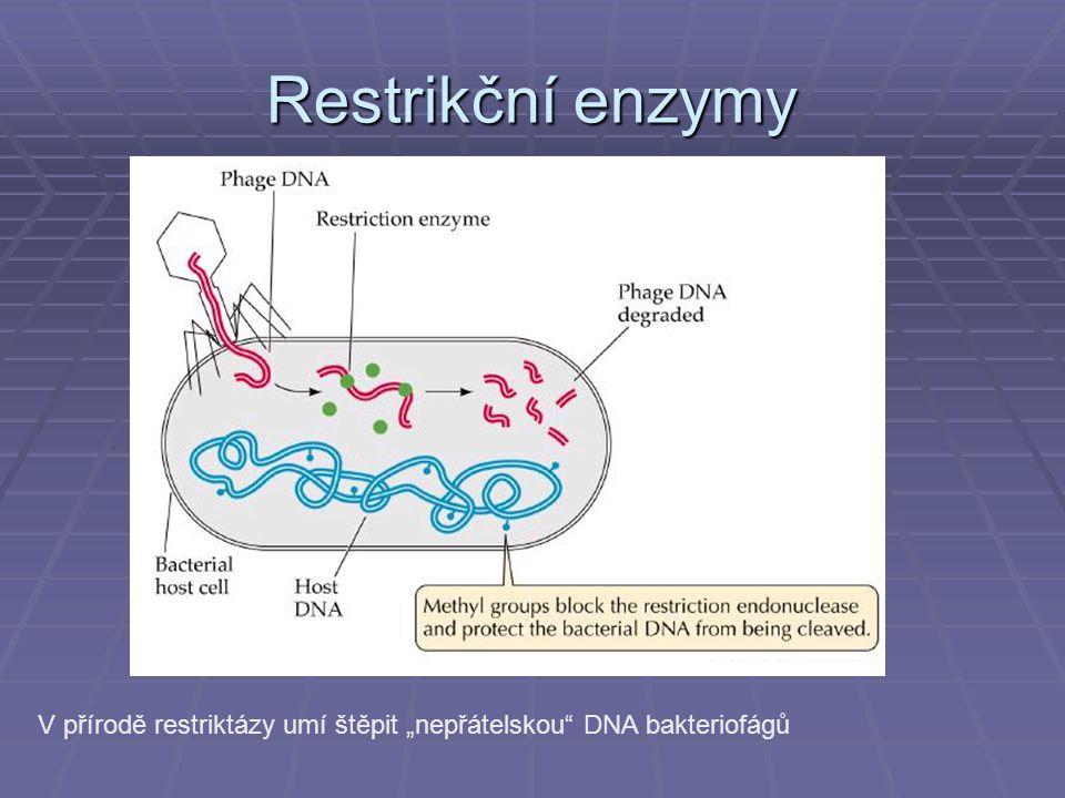 """Restrikční enzymy V přírodě restriktázy umí štěpit """"nepřátelskou DNA bakteriofágů"""