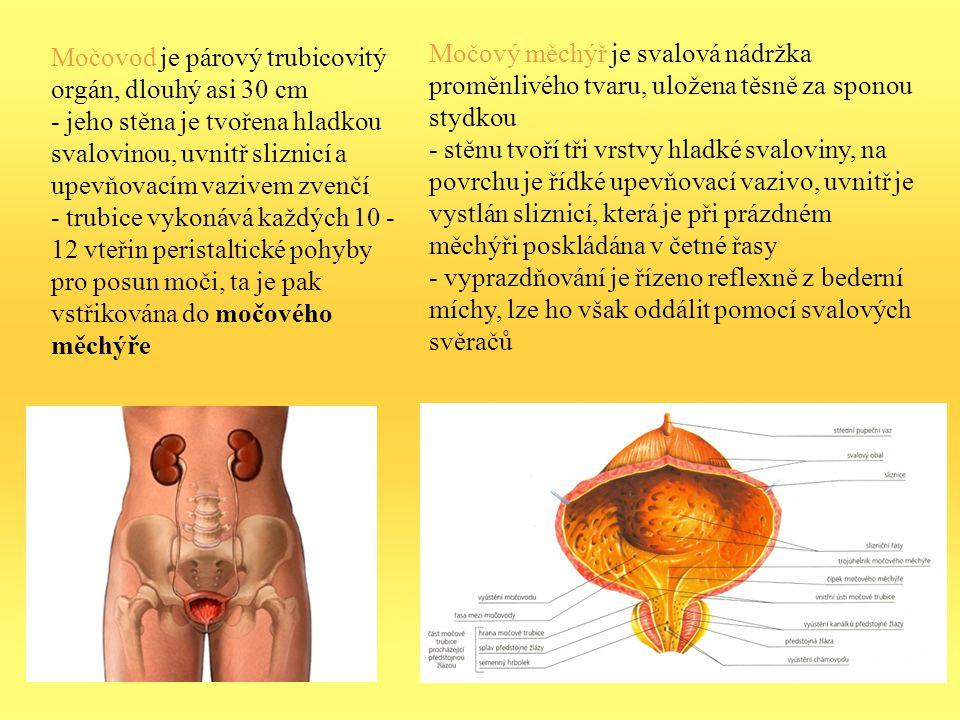 Močovod je párový trubicovitý orgán, dlouhý asi 30 cm