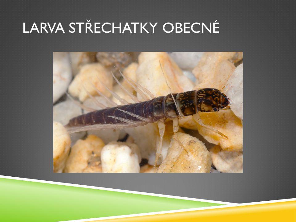 Larva střechatky obecné