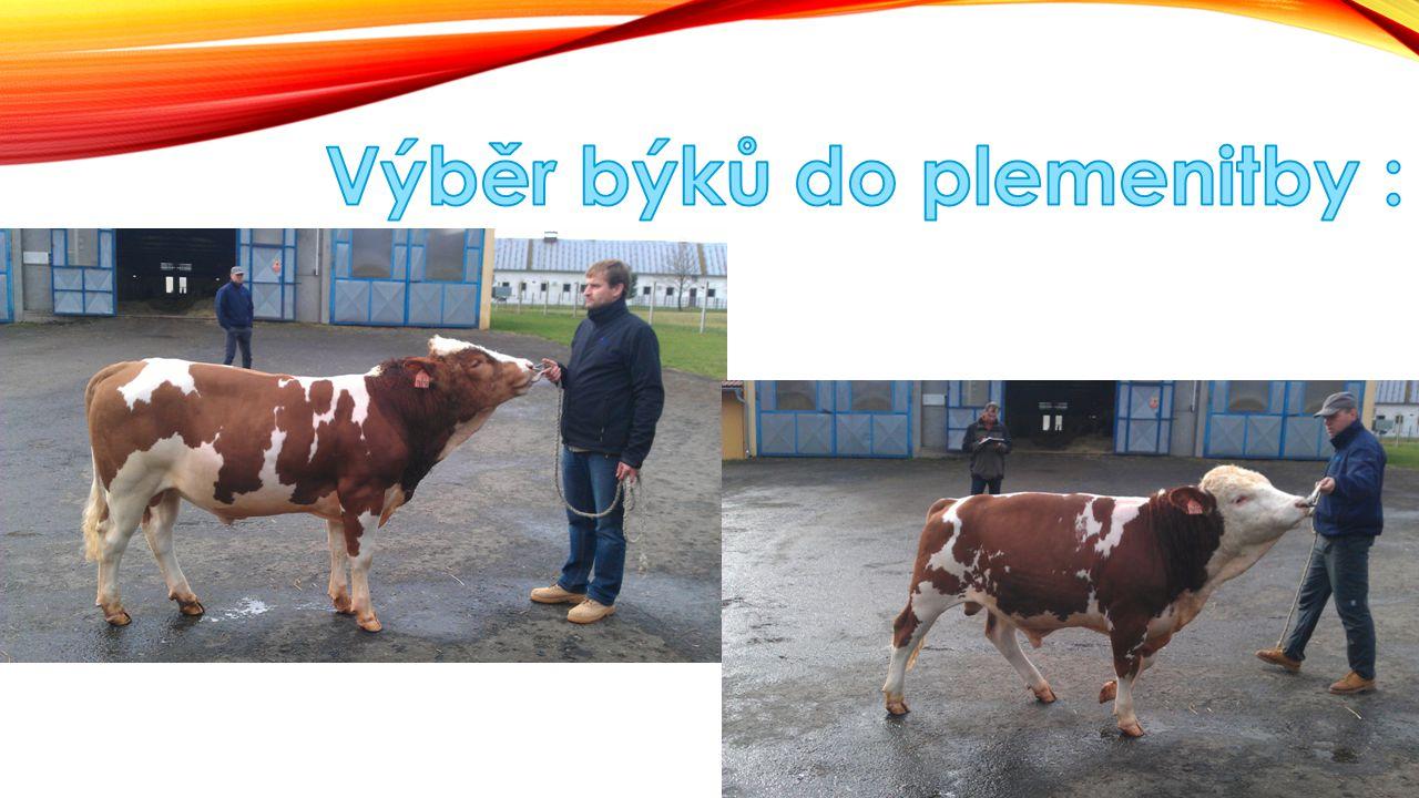 Výběr býků do plemenitby :