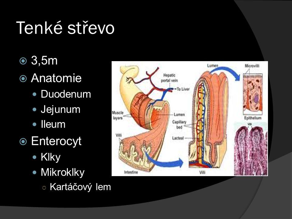 Tenké střevo 3,5m Anatomie Enterocyt Duodenum Jejunum Ileum Klky