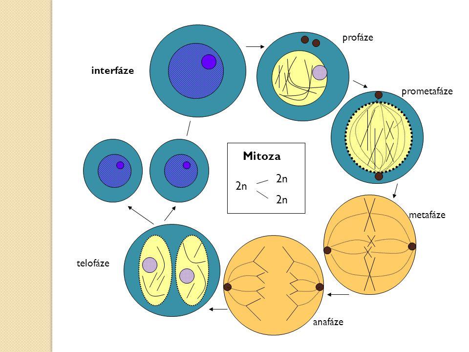 profáze interfáze prometafáze Mitoza 2n 2n metafáze telofáze anafáze