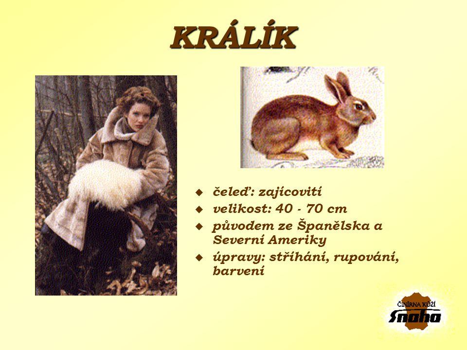 KRÁLÍK čeleď: zajícovití velikost: 40 - 70 cm