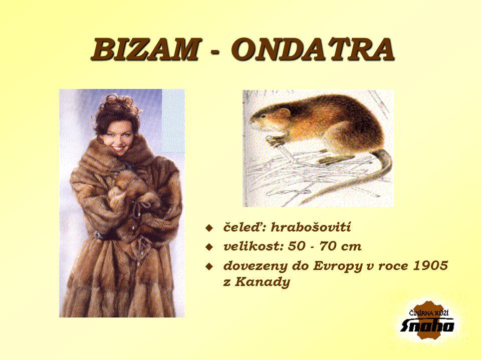 BIZAM - ONDATRA čeleď: hrabošovití velikost: 50 - 70 cm