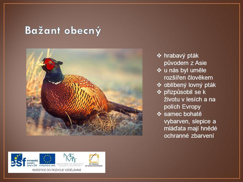 Bažant obecný hrabavý pták původem z Asie