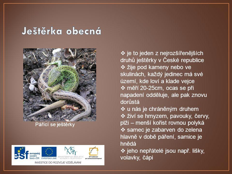 Ještěrka obecná je to jeden z nejrozšířenějších druhů ještěrky v České republice.
