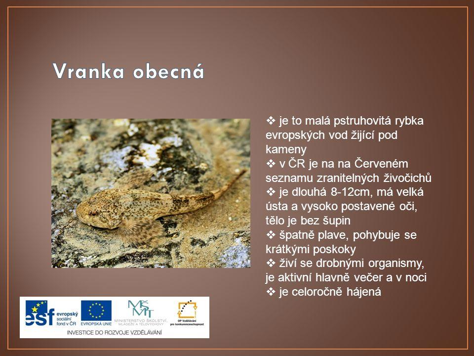 Vranka obecná je to malá pstruhovitá rybka evropských vod žijící pod kameny. v ČR je na na Červeném seznamu zranitelných živočichů.