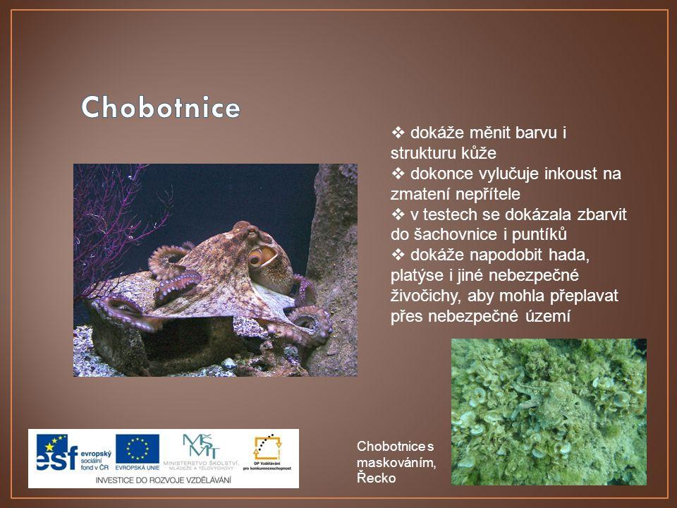Chobotnice dokáže měnit barvu i strukturu kůže