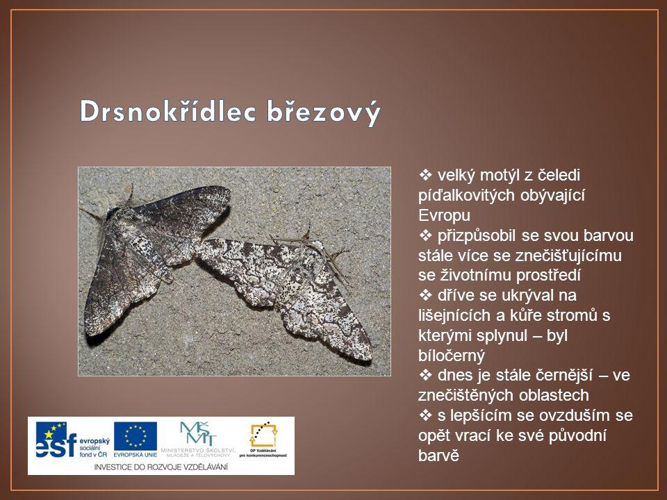 Drsnokřídlec březový velký motýl z čeledi píďalkovitých obývající Evropu.