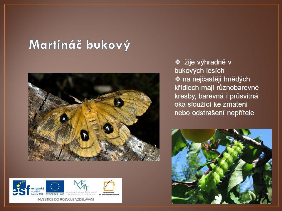 Martináč bukový žije výhradně v bukových lesích
