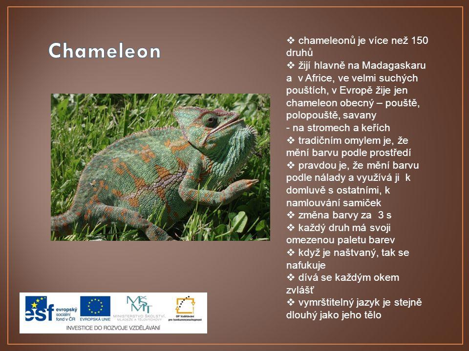 Chameleon chameleonů je více než 150 druhů