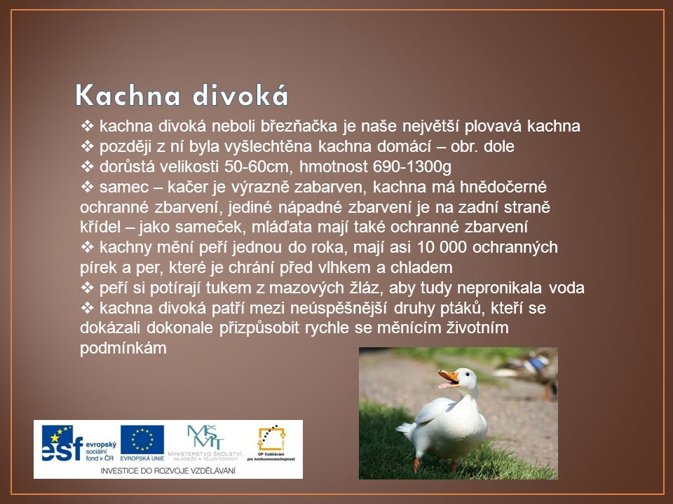 Kachna divoká kachna divoká neboli březňačka je naše největší plovavá kachna. později z ní byla vyšlechtěna kachna domácí – obr. dole.