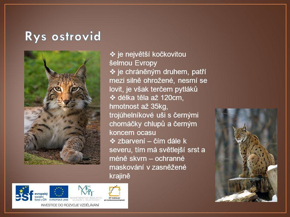 Rys ostrovid je největší kočkovitou šelmou Evropy