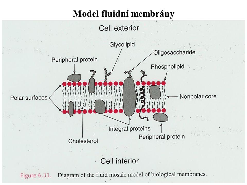 Model fluidní membrány