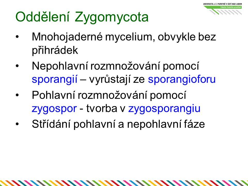 Oddělení Zygomycota Mnohojaderné mycelium, obvykle bez přihrádek
