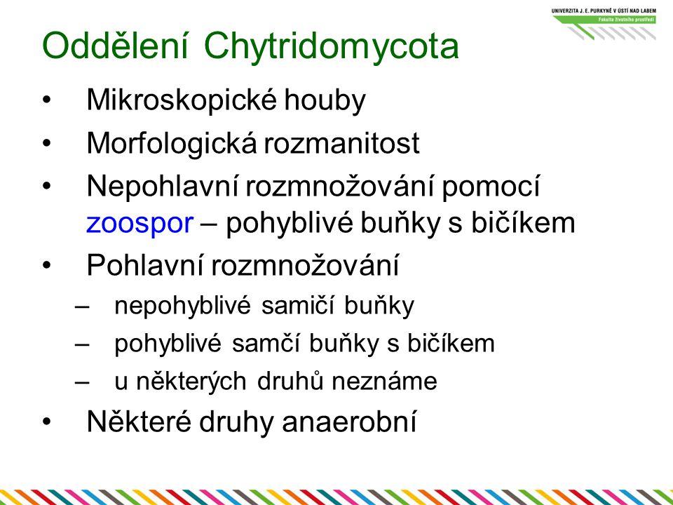 Oddělení Chytridomycota