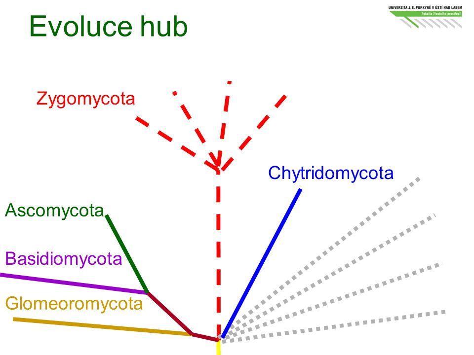 Evoluce hub Zygomycota Chytridomycota Ascomycota Basidiomycota