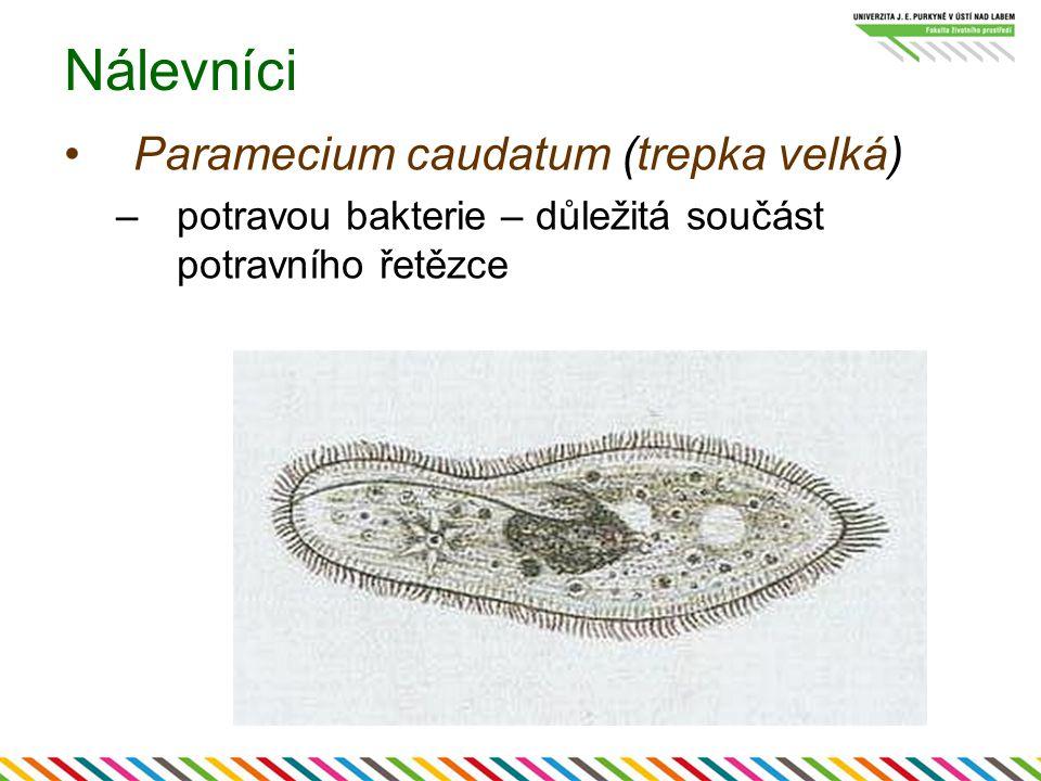 Nálevníci Paramecium caudatum (trepka velká)