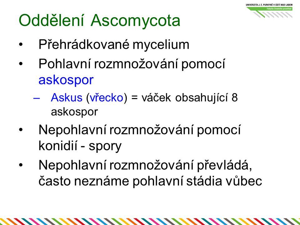 Oddělení Ascomycota Přehrádkované mycelium