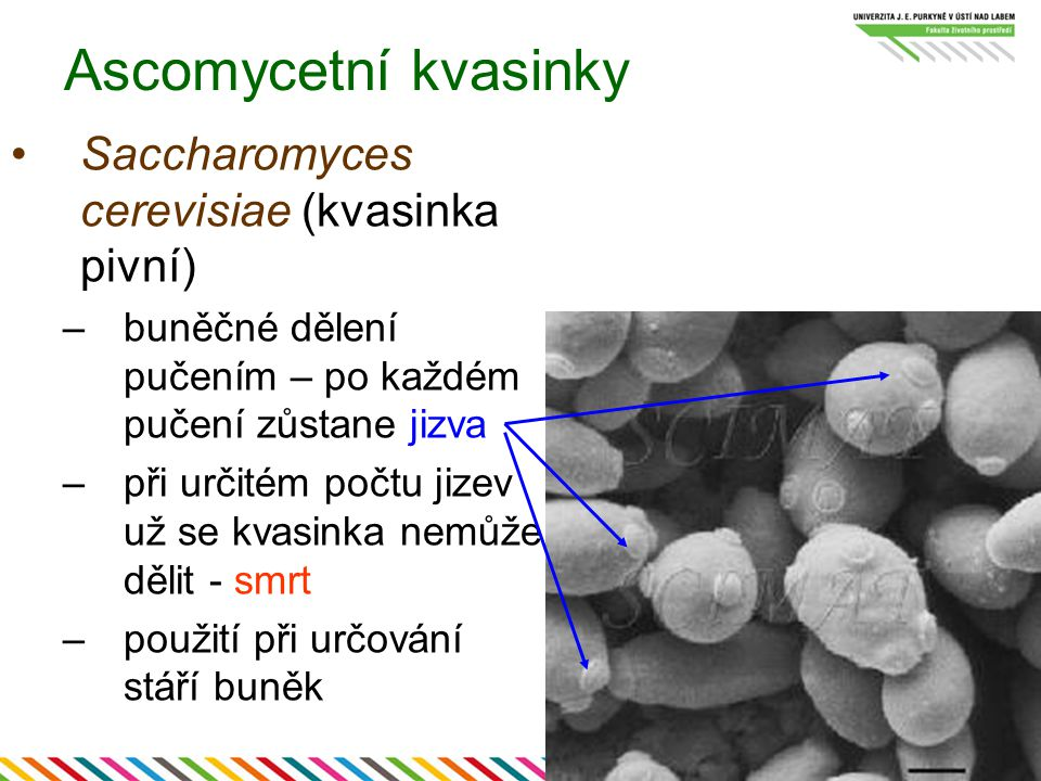 Ascomycetní kvasinky Saccharomyces cerevisiae (kvasinka pivní)