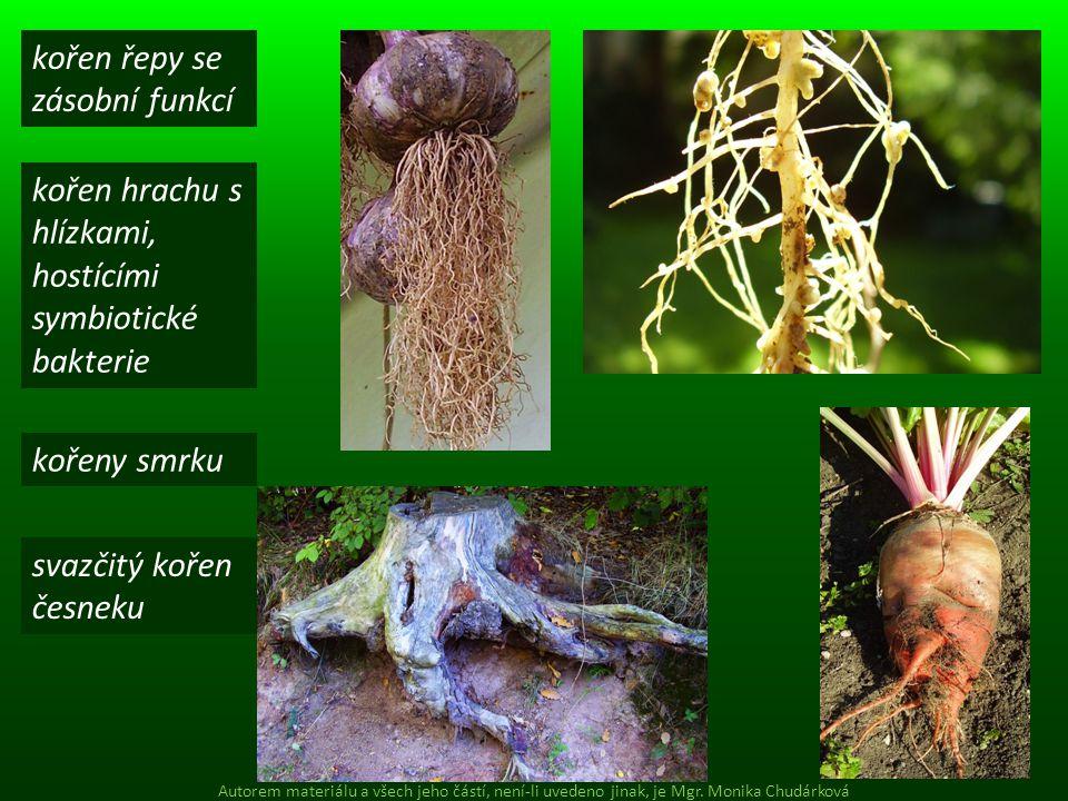 kořen řepy se zásobní funkcí