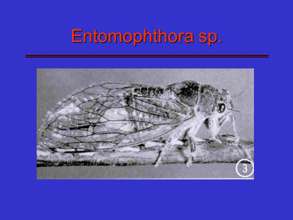Entomophthora sp.