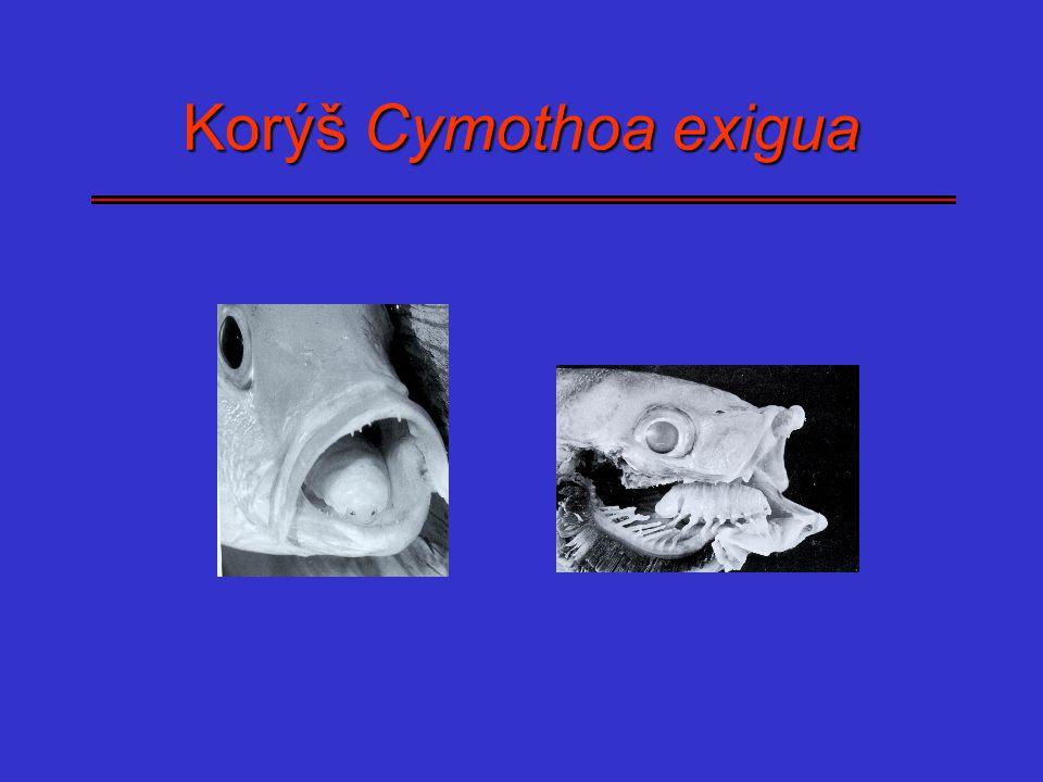 Korýš Cymothoa exigua