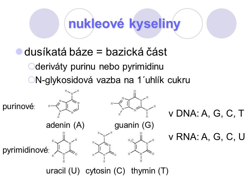 nukleové kyseliny dusíkatá báze = bazická část v DNA: A, G, C, T