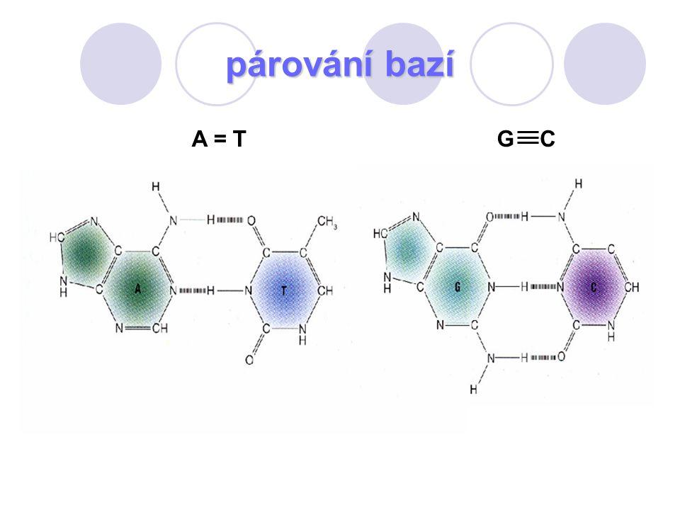párování bazí A = T G C