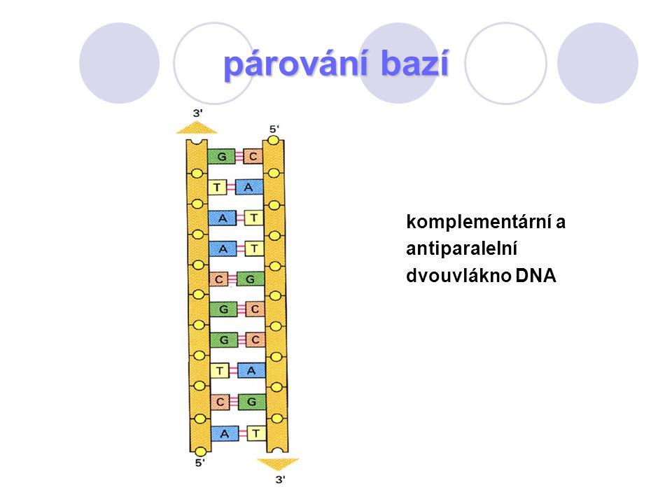 párování bazí komplementární a antiparalelní dvouvlákno DNA