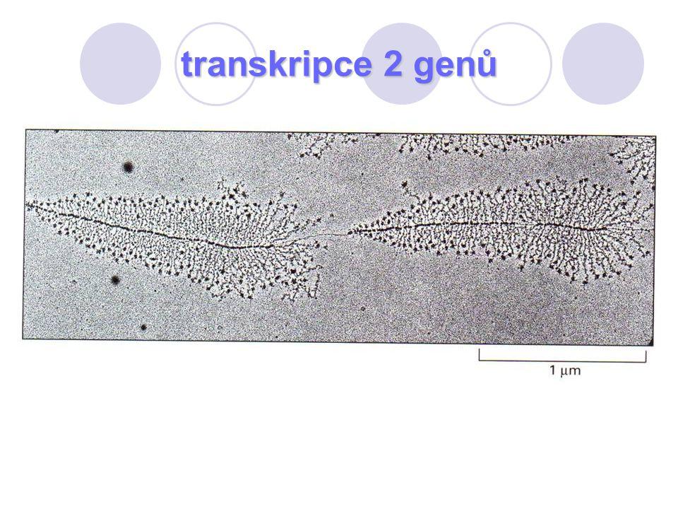 transkripce 2 genů