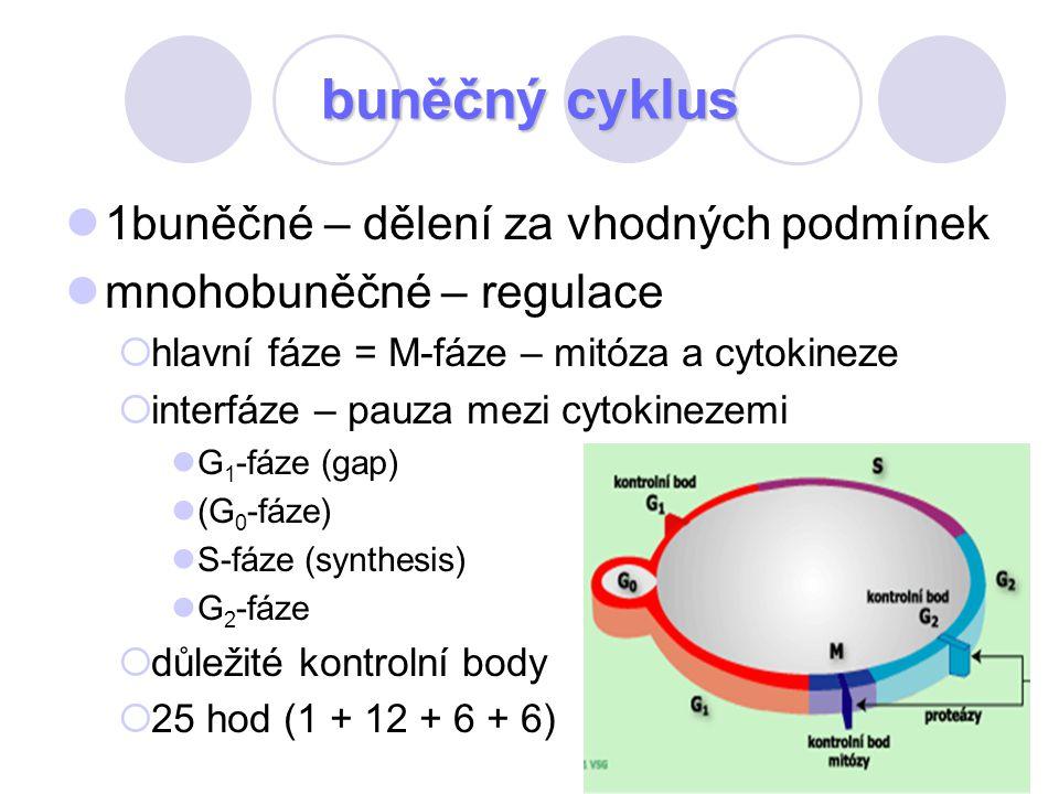 buněčný cyklus 1buněčné – dělení za vhodných podmínek
