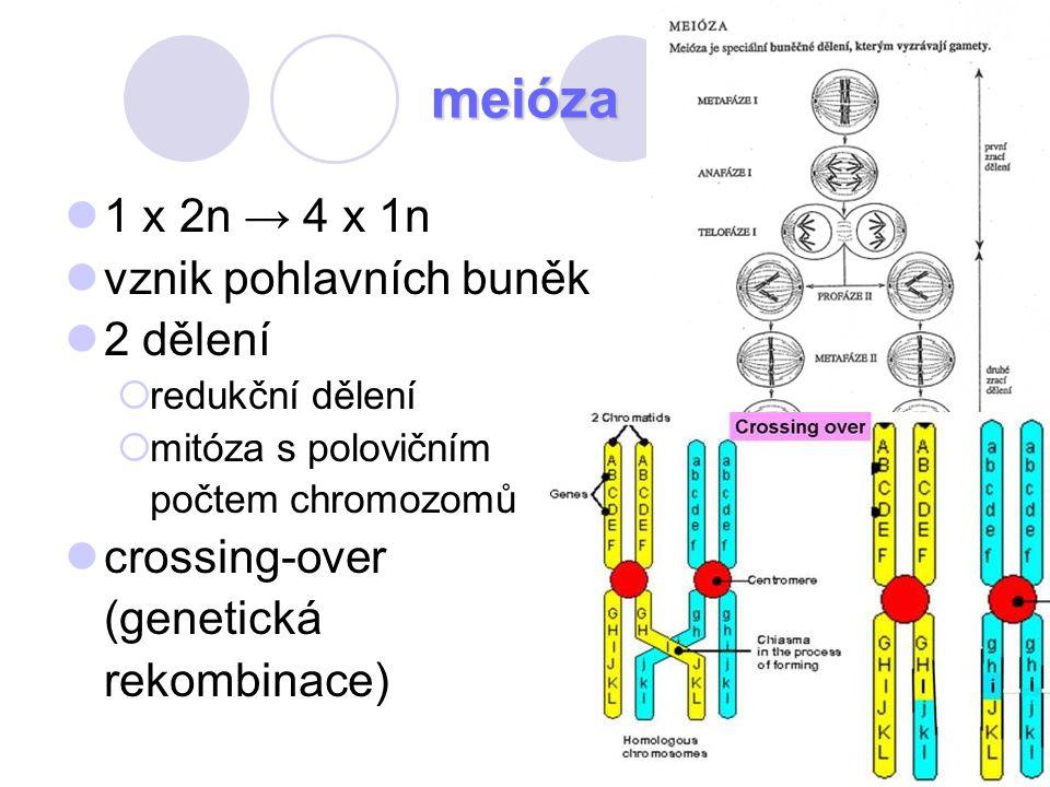 meióza 1 x 2n → 4 x 1n vznik pohlavních buněk 2 dělení crossing-over