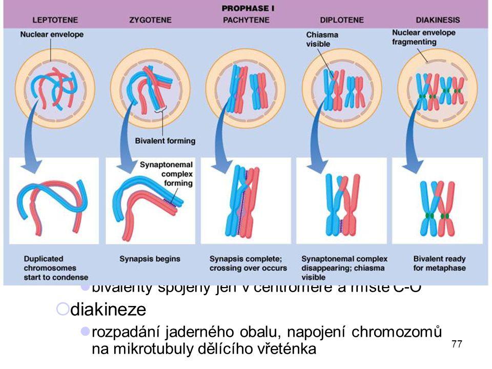 první meiotické dělení (redukční)