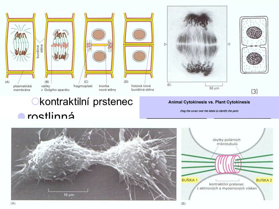 cytokineze = dělení buňky živočišná rostlinná invaginace PM zaškrcení