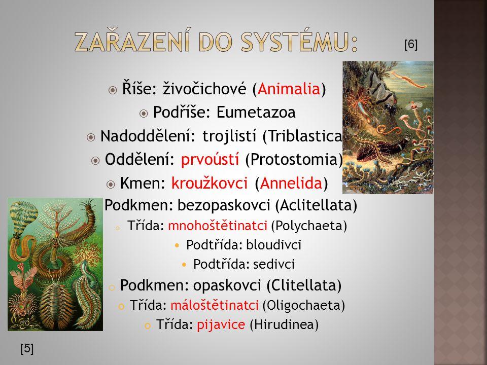 Zařazení do systému: Říše: živočichové (Animalia) Podříše: Eumetazoa