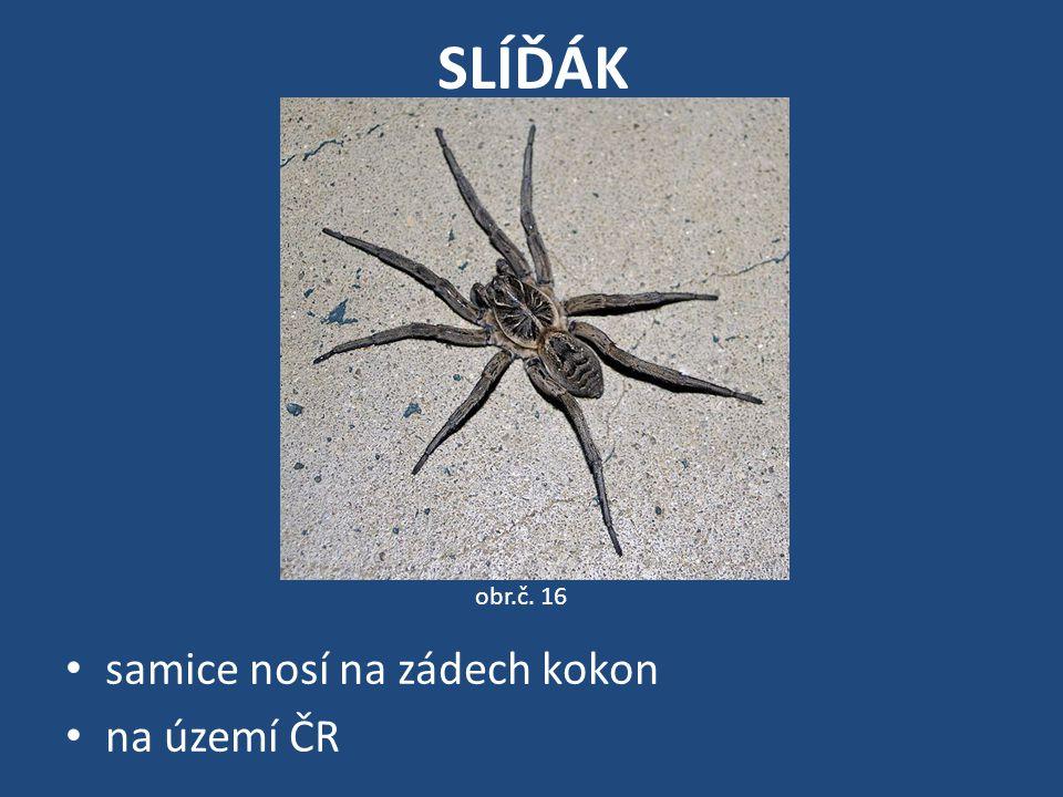 SLÍĎÁK obr.č. 16 samice nosí na zádech kokon na území ČR