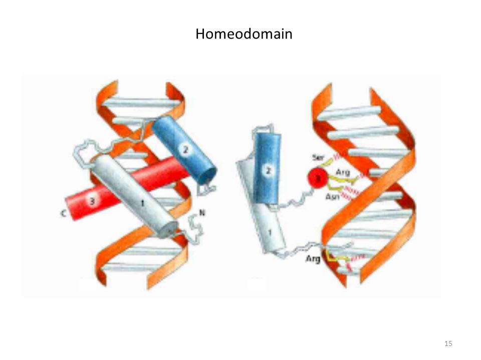 Homeodomain