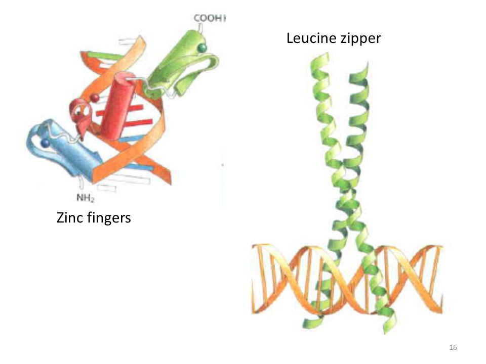 Leucine zipper Zinc fingers