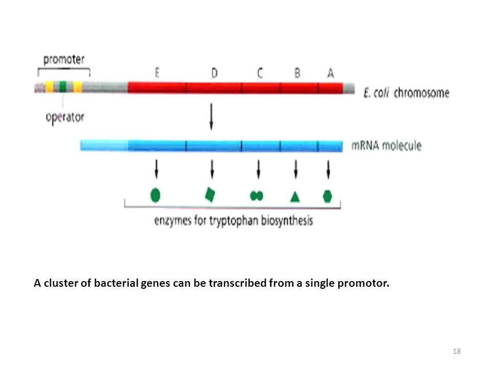A cluster of bacterial genes can be transcribed from a single promotor.