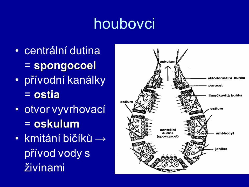 houbovci centrální dutina = spongocoel přívodní kanálky = ostia